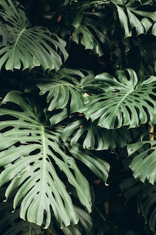 Fond de feuilles vertes tropicales, feuille de monstera deliciosa sur le mur avec des tons sombres, fond de concept de modèle jungle, gros plan. feuilles vertes de monstera philodendron plante poussant à l'état sauvage.