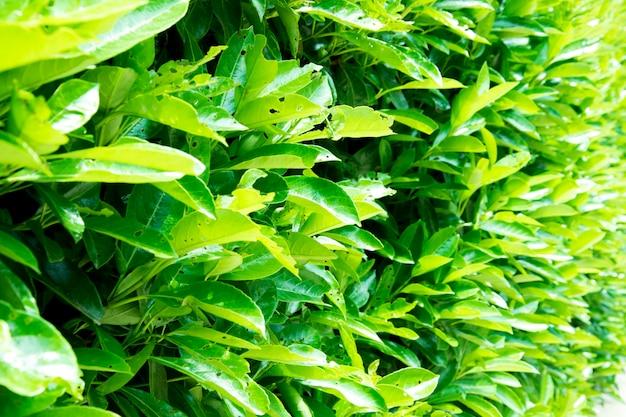 Fond de feuilles vertes. verbenaceae.
