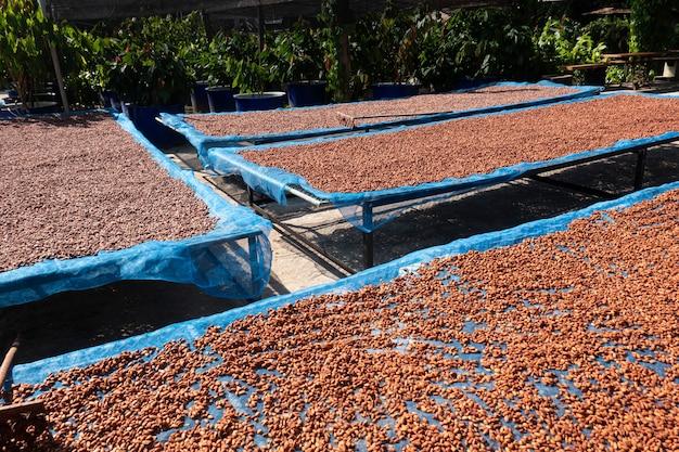 Fond de fèves de cacao séchées et séchées au soleil. fèves de cacao crues étalées pour sécher au soleil lors d'un traitement