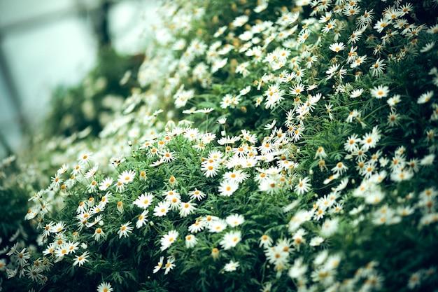Le fond de fleur de marguerite clair