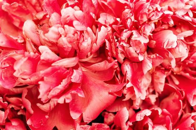 Fond de fleur de pivoine rouge toile de fond fleurie naturelle avec des pétales de pivoine close up