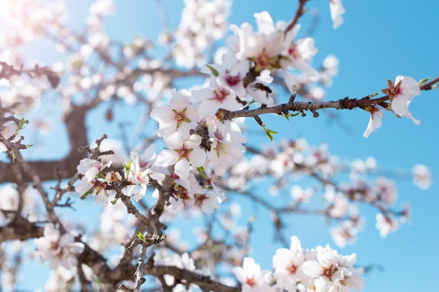 Fond de fleur de printemps. belle scène de nature avec arbre en fleurs par une journée ensoleillée. fleurs de printemps. beau verger au printemps. fond abstrait.