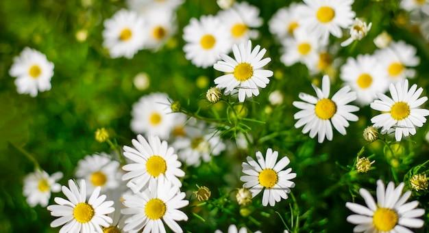 Fond de fleurs de camomille, camomille de champ, nature avec floraison de camomille médicale, plante médicinale, printemps, été