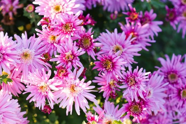 Fond de fleurs de chrysanthèmes roses pourpres dans le jardin