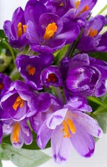 Fond de fleurs de crocus de vacances de printemps (macro)