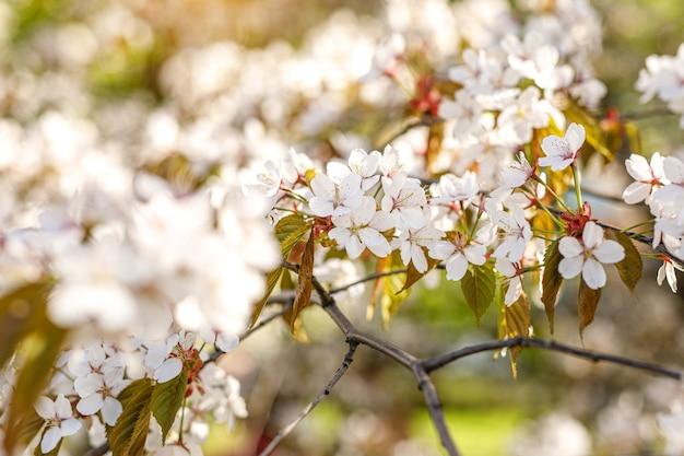 Fond avec des fleurs épanouies un jour de printemps.