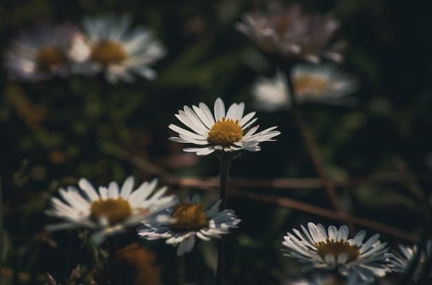 Fond de fleurs de marguerite