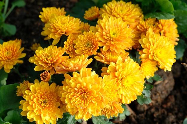 Fond de fleurs de nature, fleurs de marguerite jaune floraison au printemps, vue de dessus, plat poser