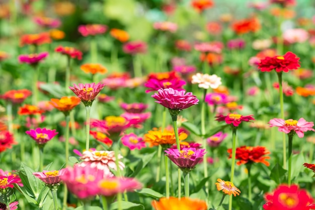 Fond de fleurs, de nombreuses couleurs belles et lumineuses de zinnia peruviana