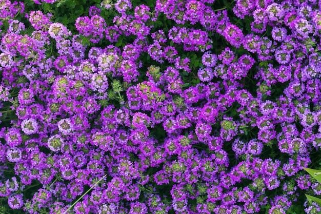 Fond de fleurs roses et violettes en fleurs lumineuses de thym