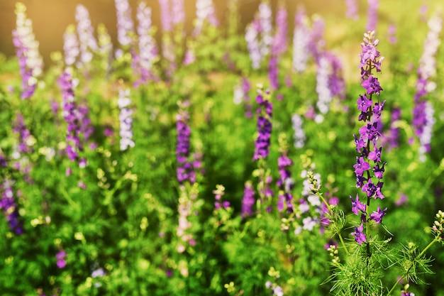 Fond de fleurs sauvages au coucher du soleil en été