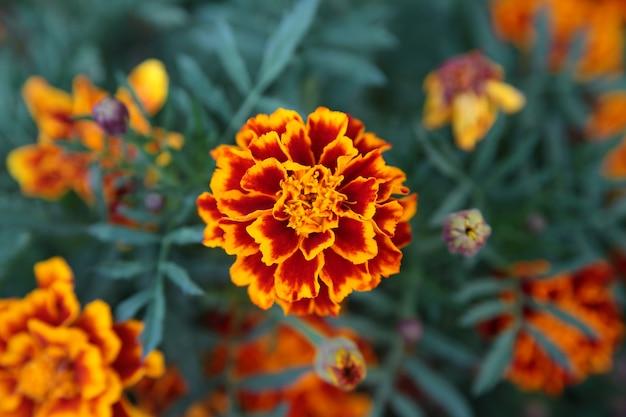Fond de fleurs de souci