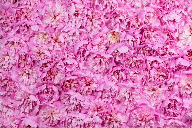 Fond floral de couleur rose de ces fleurs de pivoines.