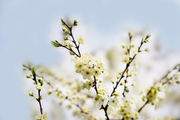 Fond floral défocalisé avec des cerisiers en fleurs contre le ciel bleu.