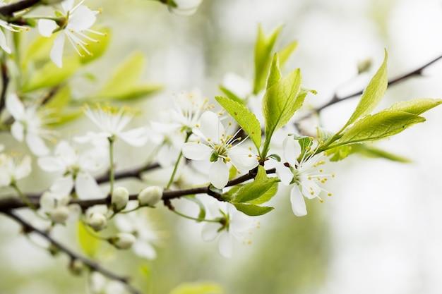 Fond floral défocalisé avec des fleurs de cerisier sur des feuilles vertes.