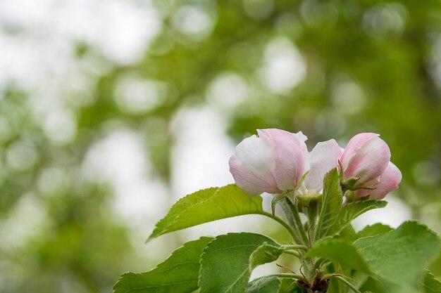 Fond floral avec des fleurs de pomme fleurit sur bokeh vert