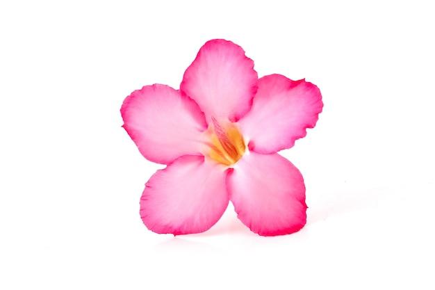 Fond floral. gros plan d'une fleur tropicale rose adenium. rose du désert sur fond blanc isolé