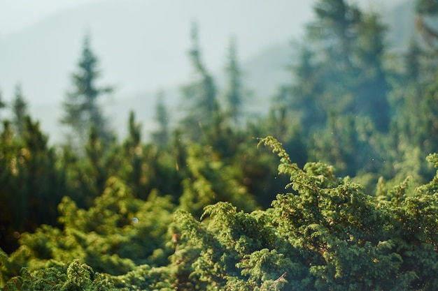Fond floral vert flou avec des buissons de genévrier sur un terrain d'entente
