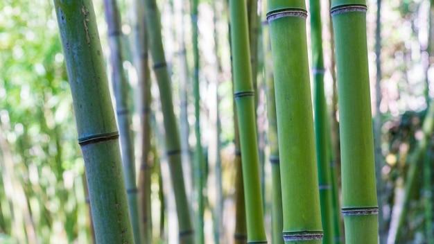 Fond de forêt de bambou, arboretum à sukhum, abkhazie.
