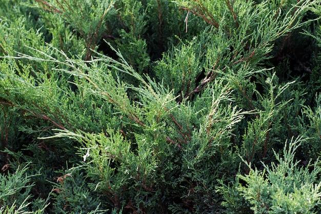 Fond de genévrier décoratif horizontal vert
