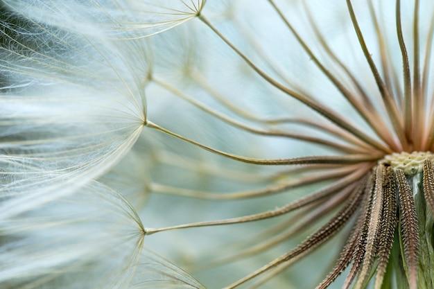 Fond de graines de pissenlit. gros plan macro de semences. nature printanière