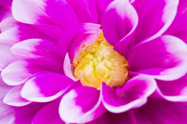 Fond de gros plan de fleurs de dahlia rose