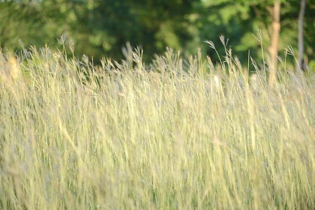 Fond d'herbe jaune
