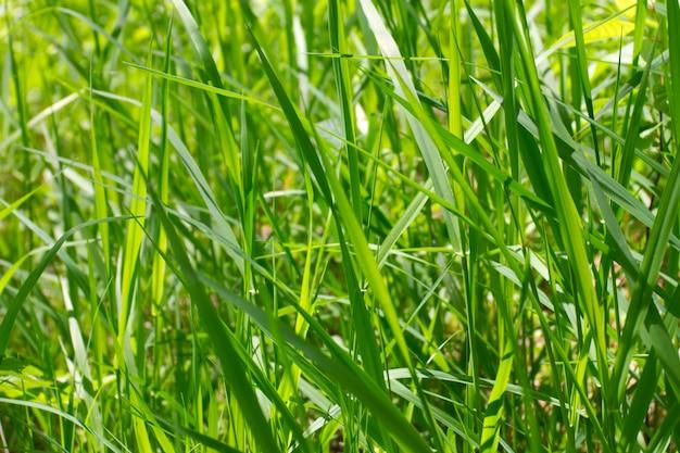 Fond de l'herbe verte juteuse
