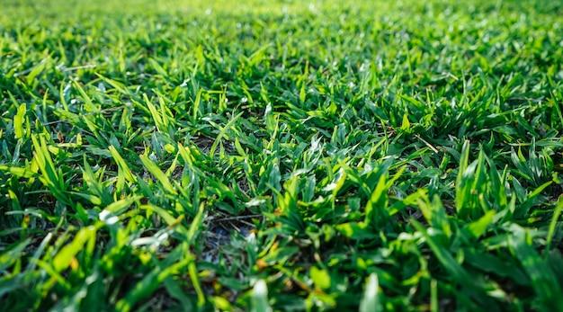 Fond d'herbe verte naturelle avec mise au point sélective