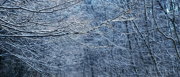 Fond d'hiver avec des branches d'arbres enneigées dans la forêt