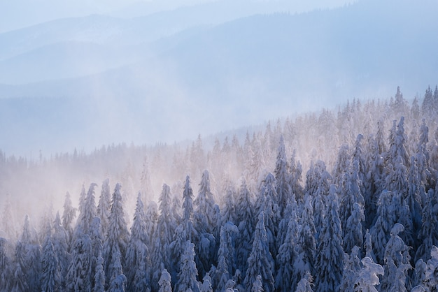 Fond d'hiver. forêt d'épinettes dans la neige sur les pentes de la colline. brouillard du matin