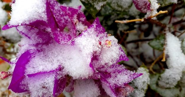 Fond d'hiver naturel avec une fleur pourpre recouverte de neige