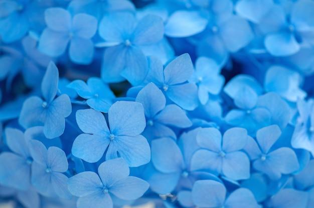 Fond d'hortensia bleu