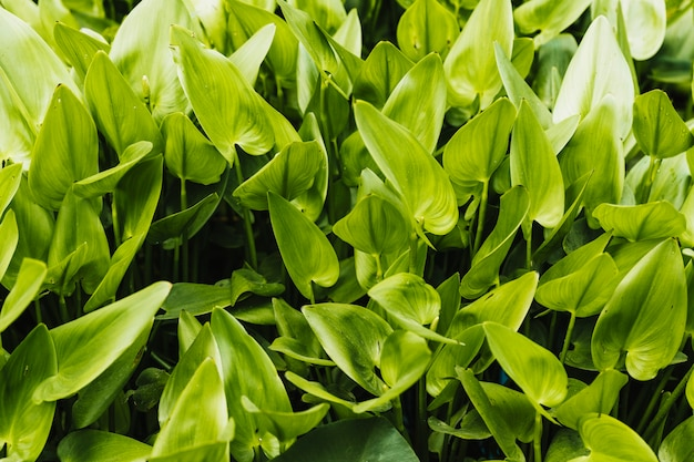 Fond de jacinthe d'eau verte