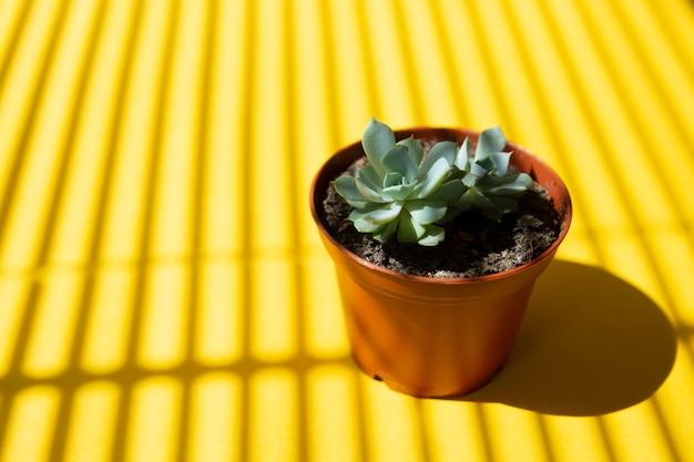Fond jaune créatif avec petite plante succulente de bébé en pot. modèle abstrait d'été