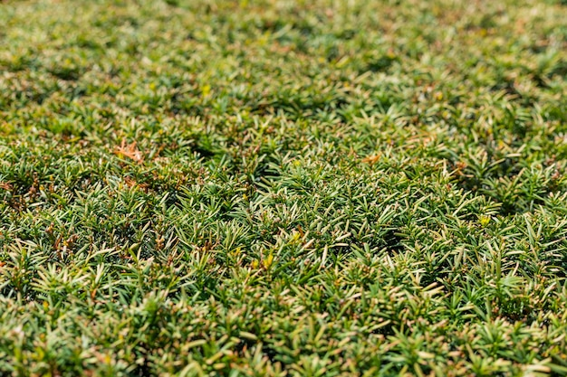 Fond de labyrinthe de haies de cyprès à feuilles persistantes. arbres topiaires. jardin décoratif
