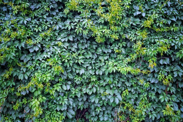 Fond de lierre vert, texture de feuilles vertes fraîches