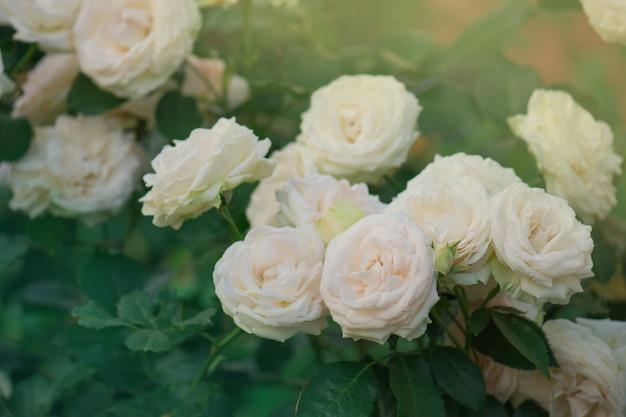 Fond de macro de belles roses roses
