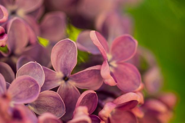 Fond macro fleurs lilas