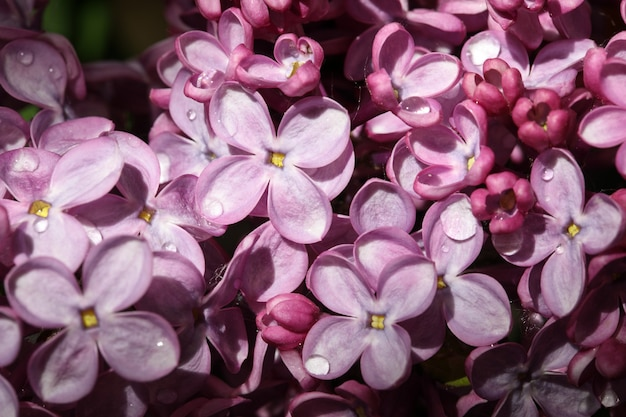 Fond de macro fleurs violet rose lilas en gouttes d'eau