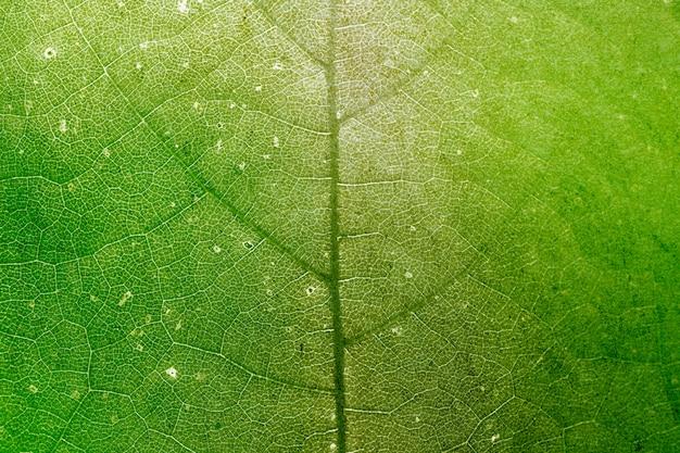 Fond de macro de texture de feuille de groseille à maquereau étoile