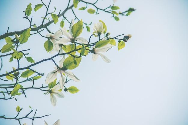 Fond de magnolias en fleurs. fleurs. mise au point sélective.