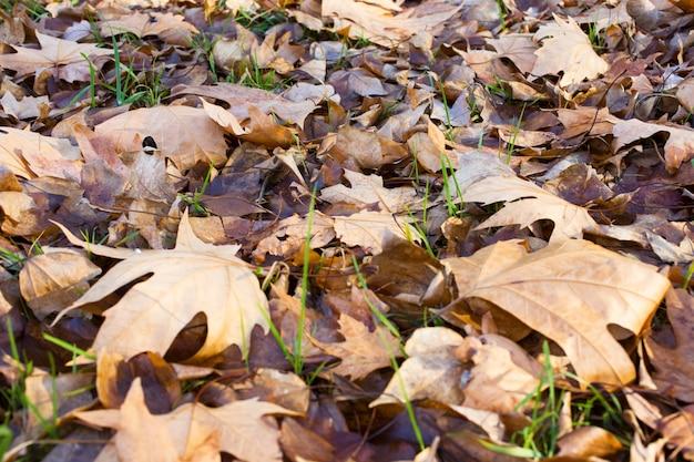 Fond marron de feuilles d'automne. en plein air. l'image de fond colorée des feuilles d'automne tombées est parfaite pour une utilisation saisonnière. espace pour le texte.
