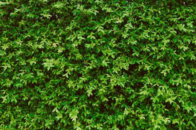 Fond de mur de feuilles vertes, plante sur le mur