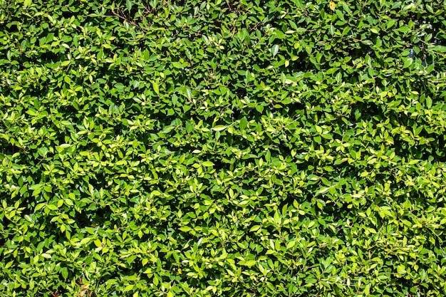 Fond de mur de feuilles