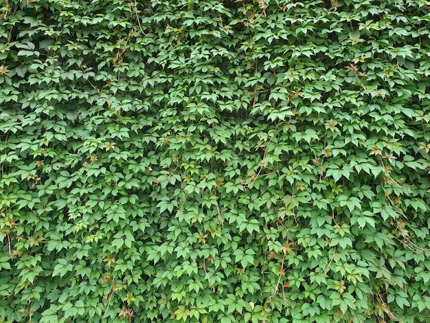 Fond de mur végétalisé