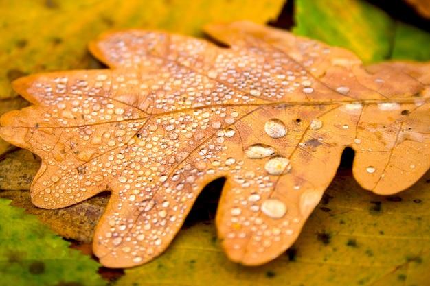 Fond de nature automne. feuille d'or jaune tombée de chêne avec des gouttes d'eau sur fond de texture de feuilles marron orange vert coloré vif. fermer.