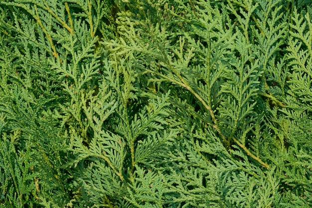 Fond de nature de feuilles de thuya vert. vue de dessus