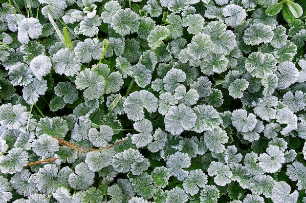 Fond de nature d'hiver. feuilles vertes couvertes de givre blanc et formation de cristaux de glace