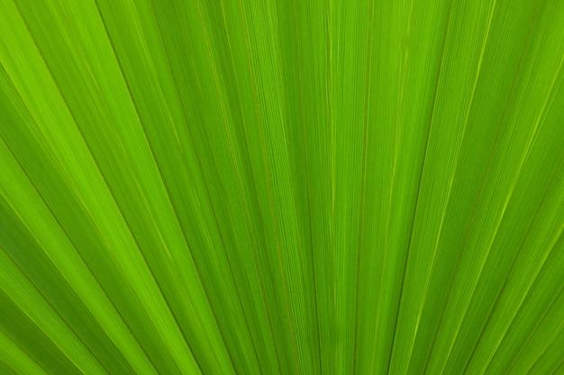 Fond de nature, texture de feuille de palmier vert